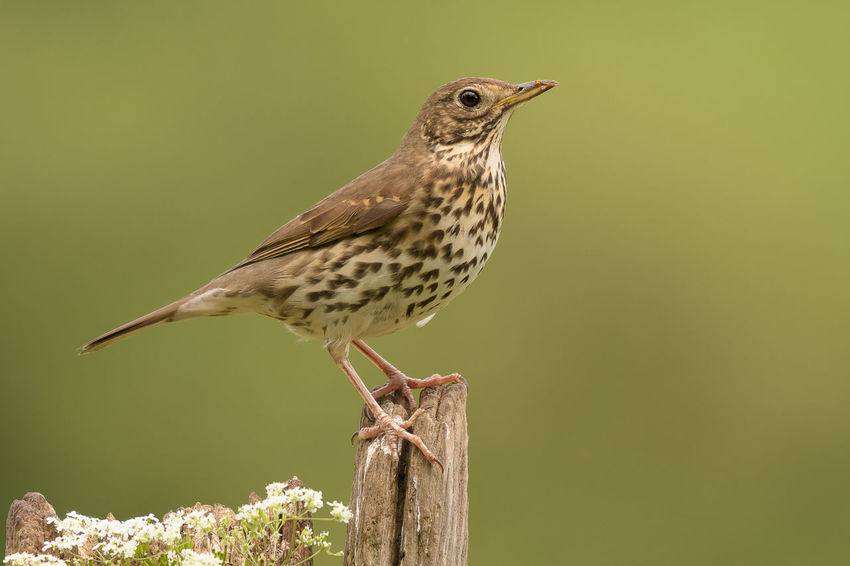 Song Thrush Turdus Philomelos Animals In The Wild Bird Close-up Nature No People One Animal Outdoors Perching