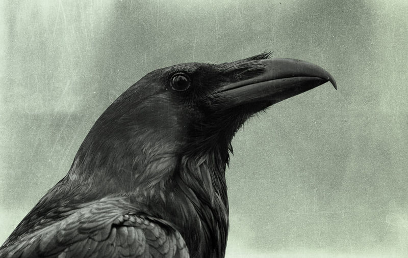 Raven Animal Animal Body Part Animal Eye Animal Head  Animal Themes Animal Wildlife Animals In The Wild Beak Bird Close-up Day Eagle Focus On Foreground Looking Looking Away Nature No People One Animal Outdoors Profile View Raven - Bird Side View Vertebrate