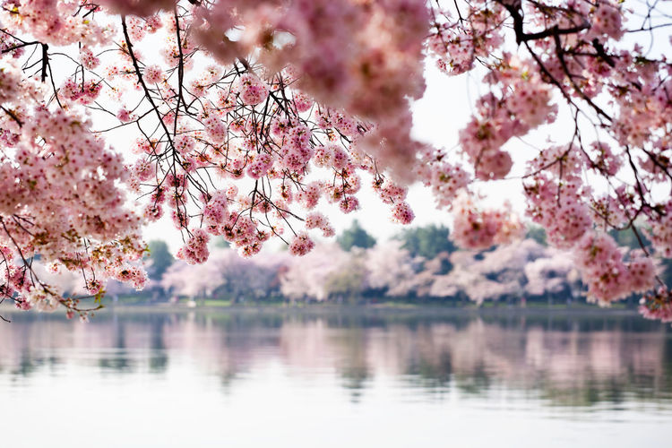 Pink Flowers On Tree By Lake Against Sky