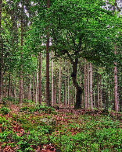 Iphoneonly Iphonephotography EyeEm Nature Lover Nature IPhone EyeEm Best Shots - Nature TreePorn Bavaria Naturelovers Taking Photos Tree
