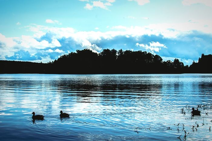Silhouette of ducks swimming in a placid blue lake. Ducks Swimming Lake Silhouette Animal Silhouette Forest Lake Forest Silhouette Placid  Placid Lake River Landscape Nature Beauty Blue Sky Evening Blue Landscape Blue Sky Clouds Blue Ripples In Water Ripples Ducks Trees