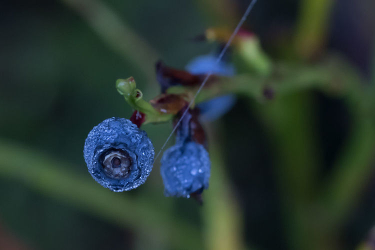 Celebrating the morning in the forests of The Veluwe, The Netherlands - Berry with small dew drops Beauty In Nature Berry Blueberry Close-up Forest Forest Photography Forestwalk Fragility Growth Morning Morning Light Nature Nature Nature Photography Nature_collection Naturelovers