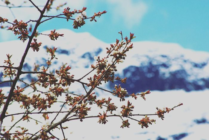 Spring is coming soon Mountain EyeEm Best Shots Eye4photography  EyeEm Gallery Landscape Cherry Nature Apple Flora Lothus Tree Branch Flower Sky Close-up Cherry Blossom Apple Blossom Apple Tree Blossom Plant Life Springtime Fruit Tree Blooming Cherry Tree In Bloom Spring