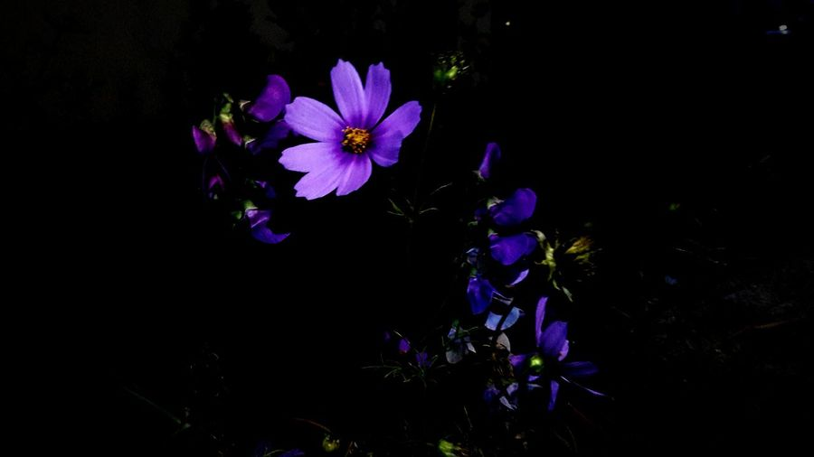 First Eyeem Photo EyeEmNewHere Flower Head EyeEm Nature Lover Flower Colorful Uncultivated Violet Lilac Nightphotography Smartphonephotography Flower Collection Blackbackground Outdoor Photography Nightphotography Nighttime My Best Photo
