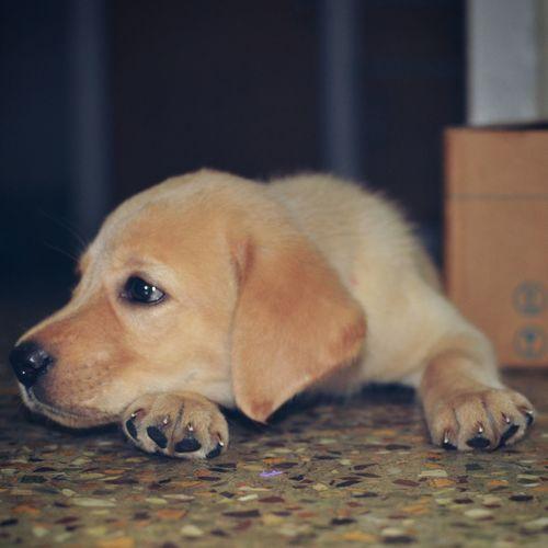 Cuteness overloaded Puppy❤ Eyeemphoto Animals No People Pets Labrador Retriever