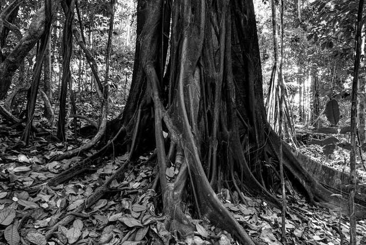 figuier étrangleur Ficus Tree Figuier Beauty In Nature Bw_collection Forest Nature No People Tree Tree Trunk WoodLand