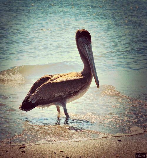 Pelicano en Playa Corona Water_collection EyeEm Birds Eye Em Nature Lover Playa Corona