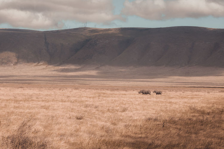Rhinos in the wild Black Rhino Ngorongoro Crater Ngorongoro Conservation Area Animal Animal Themes Animal Wildlife Beauty In Nature Cloud - Sky Day Environment Field Herbivorous Journey Land Landscape Mammal Mountain Nature No People Outdoors Plant Sky Tranquil Scene Tranquility Vast Savannah