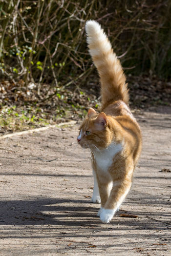 Animal Themes Animal Wildlife Animals In The Wild Cat Puff Tail Cat Tail Day Full Length Mammal Nature No People One Animal Outdoors Puff Tail