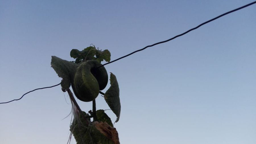 Odd Cucumber On Wire No People Low Angle View Close-up Growth Glitch Odd Cucumber Huaweiphotography Eyeem Market WOLFZUACHiV Photos Wolfzuachiv Veronica Ionita Ionita Veronica Huawei Photography WOLFZUACHiV Photography Vegetables Cucumbers Cucumber Vine Slowfood Cucumber Plants Cucumber Leaves Cucumber Vines Slow Food Cucumber Plant Cucumber