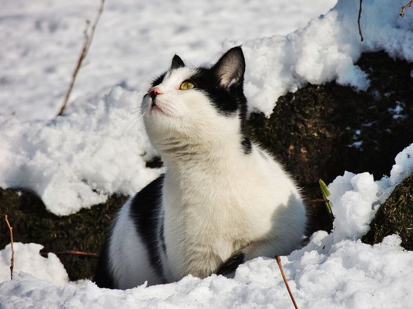 Animal Themes Beauty In Nature Cat Cold Temperature Day Domestic Animals Domestic Cat Feline Mammal Nature No People One Animal Outdoors Pets Snow Snowing White Color Winter