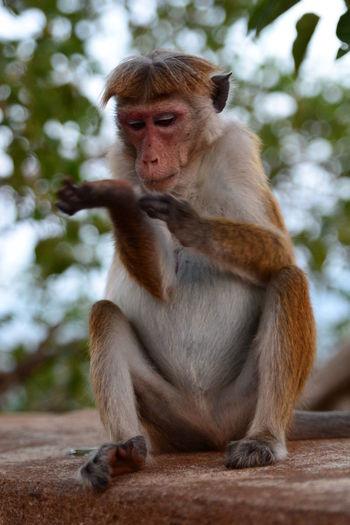 Monkey at Sigiriya rock. Sri Lanka Sigiriya Rock Sri Lanka Travelling Animal Family Animal Themes Animal Wildlife Animals In The Wild Ceylon Dambulla Mammal Monkey Monkey Sitting Nature No People One Animal Outdoors Primate Sigiriya Sitting Tourism Destination Travel Destinations Tropical Climate