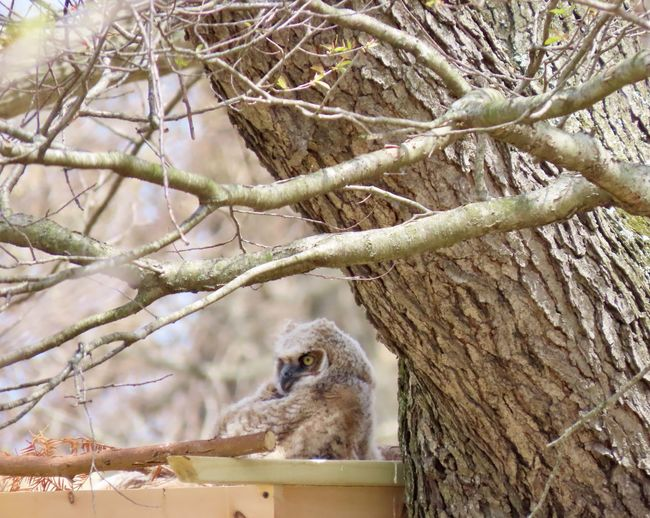Baby owl owlet closeup nest tree branches trunk animal themes bird photography beauty in nature