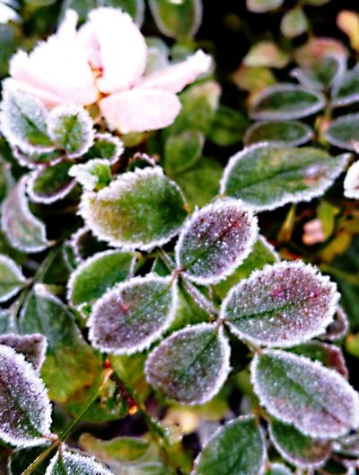 Frosen Rose Cold Temperature Winter Ice Crystal