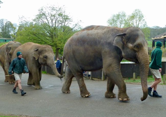 Elephants Whipsnade Zoo Elephant Animal Trunk Walking Indian Elephant African Elephant Mammal Animal Wildlife Tusk Full Length Safari Animals Adult Animals In The Wild Outdoors Travel Destinations People Men Day Elephant Calf Nature Sky