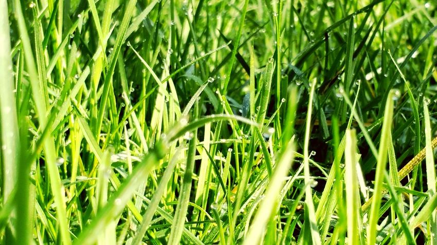Grass Green Dew My Back Garden Chlorophyll Grassy