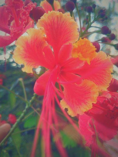Obelisco Hawaian flower Taking Photos Enjoying Life Sublime Beautiful Garden Flowers Red Flowers Yellow Flower Orange Flower
