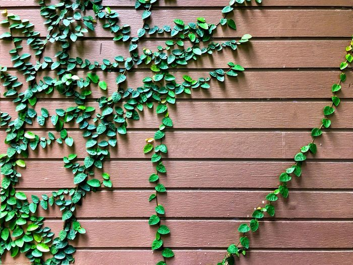 Wall Ivy Plant Wood - Material Plant Part Day Leaf Wall - Building Feature Nature Green Color Architecture Outdoors Wall Hanging Building Exterior Creeper Plant Brick Wall Growth No People Built Structure Brick