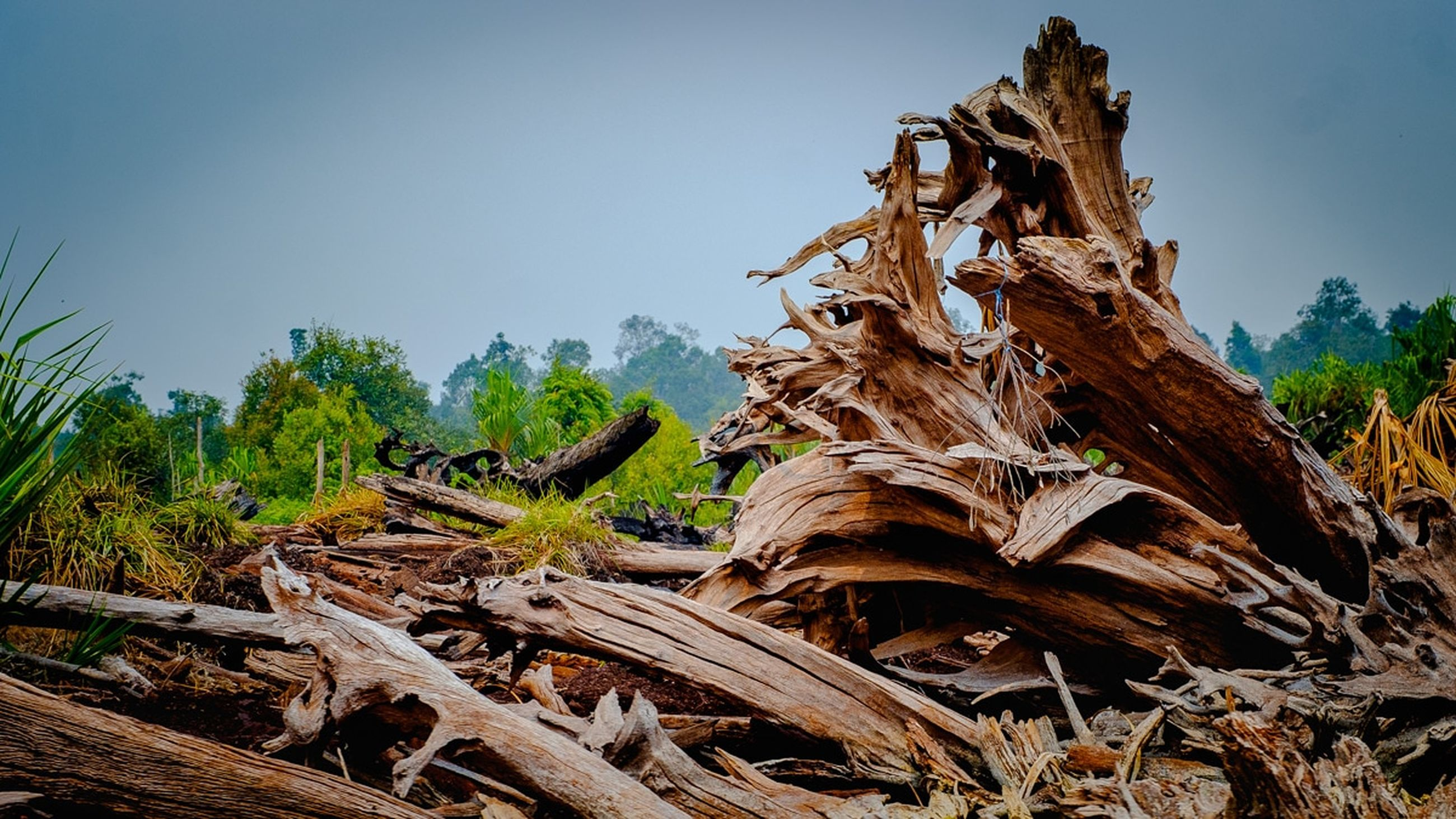 tree, plant, wood - material, sky, nature, day, no people, wood, land, clear sky, growth, damaged, tree trunk, tranquility, trunk, forest, outdoors, field, timber, log, dead plant, bark, driftwood