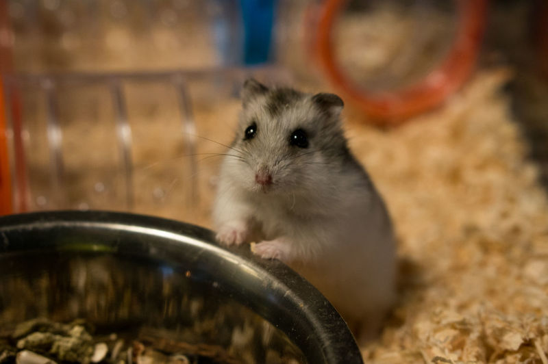 Close-up of hamster standing by bowl