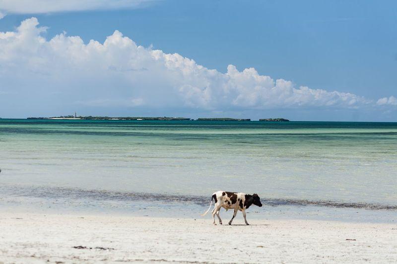 Cow running on beach against sky