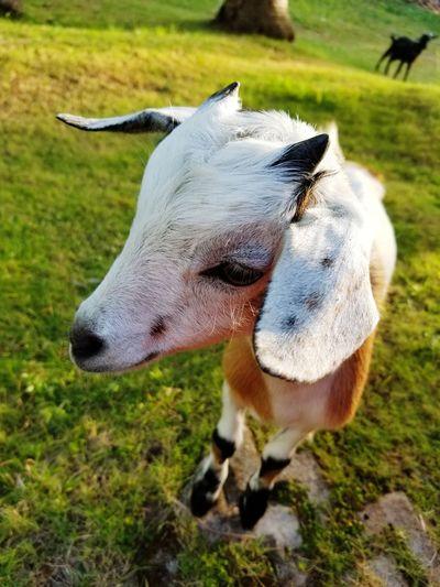 2018 Philippines Goat Field Close-up Grass Livestock Pet Leash Pets Kid Goat The Creative - 2019 EyeEm Awards