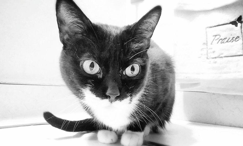 Domestic Cat One Animal Indoors  Countertop B&w Photo City Furbaby Feline Close-up