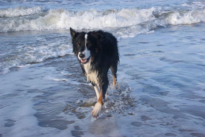 EyeEm Selects Dog Pets Beach One Animal Animal Themes Sand Holland Noord-Holland Aussies Australian Shepherd  Strand ♥ Hund