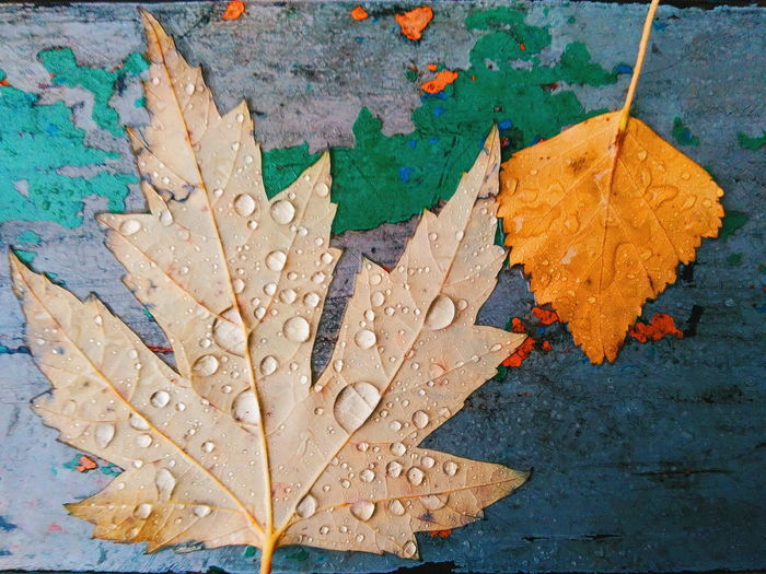 High angle view of wet maple leaves during autumn