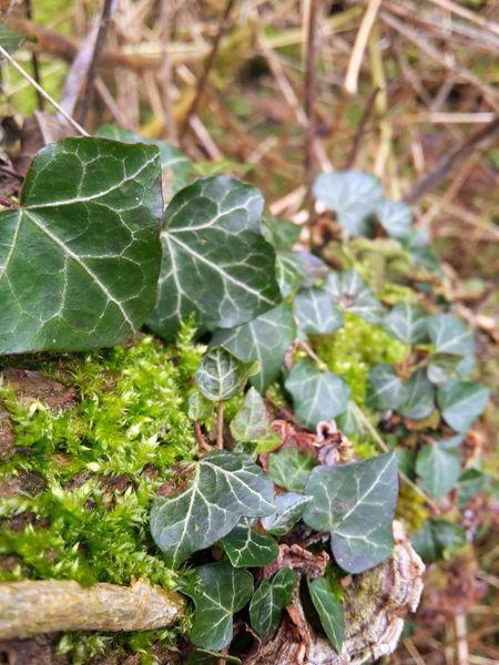 No Filter Ivy Log Beautiful Nature Macro Knaresborough