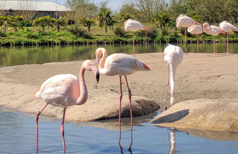 Sunlight Pink Color Lake Group Of Animals Flamingo Bird Water Standing No People Day Reflection