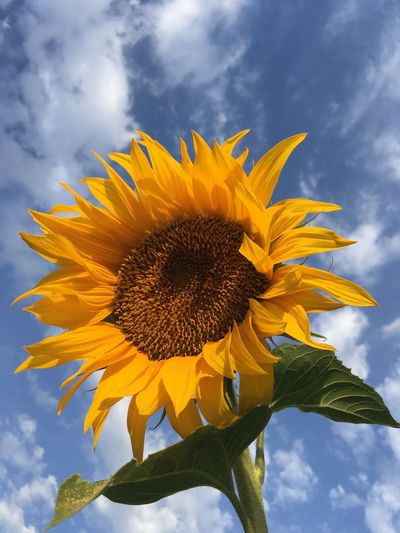 Ain't no sunshine when there's clouds Joy Cloud Yellow Freshness Growth Sky Flower Head Plant Cloud - Sky Flower Sunflower Nature Day