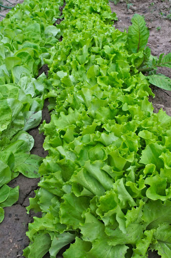Rows of lettuce growing in garden Salad Close-up Day Food Food And Drink Freshness Green Color Growth Healthy Eating Leaf Lettuce Lettuce. Nature No People Orgainc Outdoors Vegetable
