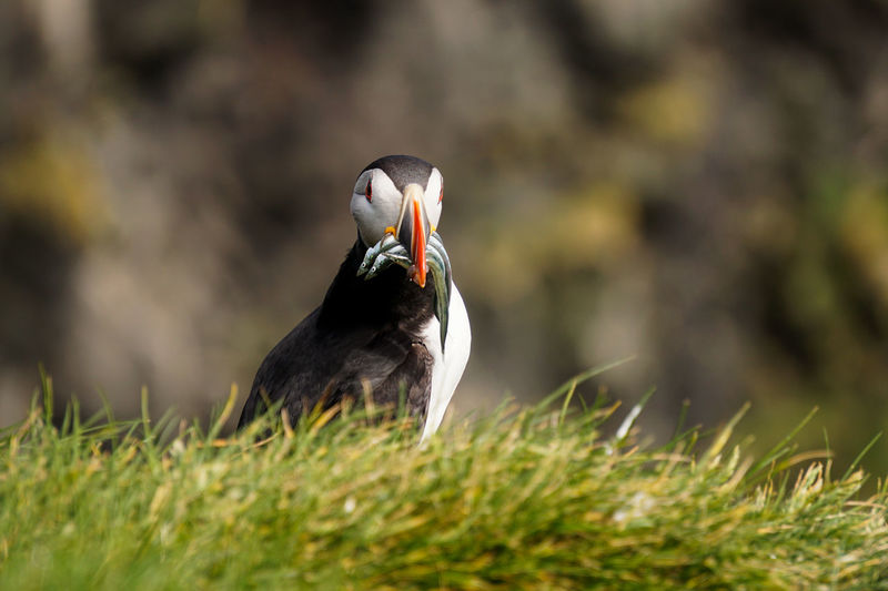 Close-up of puffin carrying saltwater eels in beak