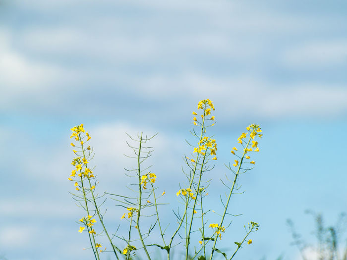 Brassica Napus Copy Space EyeEm Best Shots EyeEmNewHere Plant Wildflower Yellow Flower Allergy Backgrounds Beauty In Nature Blooming Blossom Blue Botany Close-up Cloud - Sky Cruciferous Day First Eyeem Photo Flora Floral Floral Pattern Flower Flower Head Flowering Plant Focus On Foreground Fragility Freshness Green Color Growth Nature No People Outdoors Plant Pollen Pollination Rapeseed Rapeseed Blossom Sky Spring Springtime Tranquility Vulnerability  Yellow