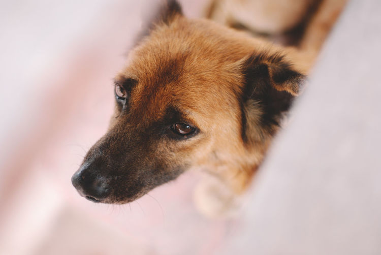 Domestic Pets Domestic Animals Mammal Canine Dog One Animal Animal Animal Themes Animal Body Part Brown No People Animal Head  Indoors  Selective Focus Vertebrate Close-up Looking High Angle View Looking Away Snout