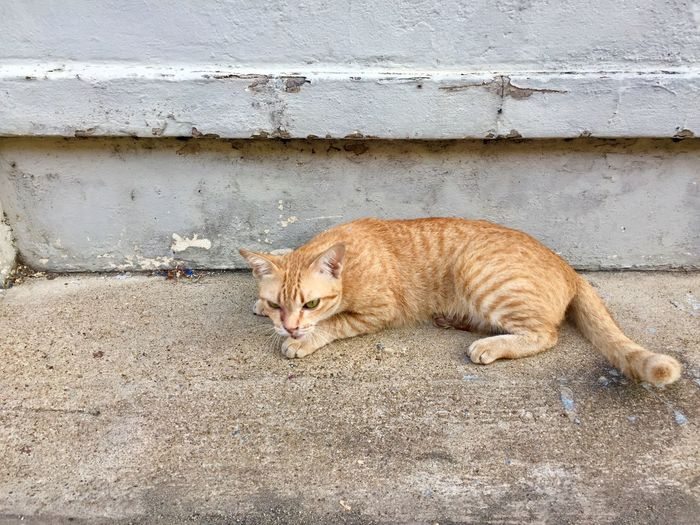 Yellow cat Thai Street Cat One Animal Animal Animal Themes Mammal Feline Relaxation Cat Resting Day Lying Down Domestic Cat Pets Domestic Animals Sleeping Wall - Building Feature Vertebrate Domestic No People Nature Stray Animal