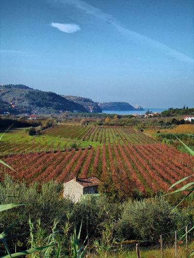 Wine yards in