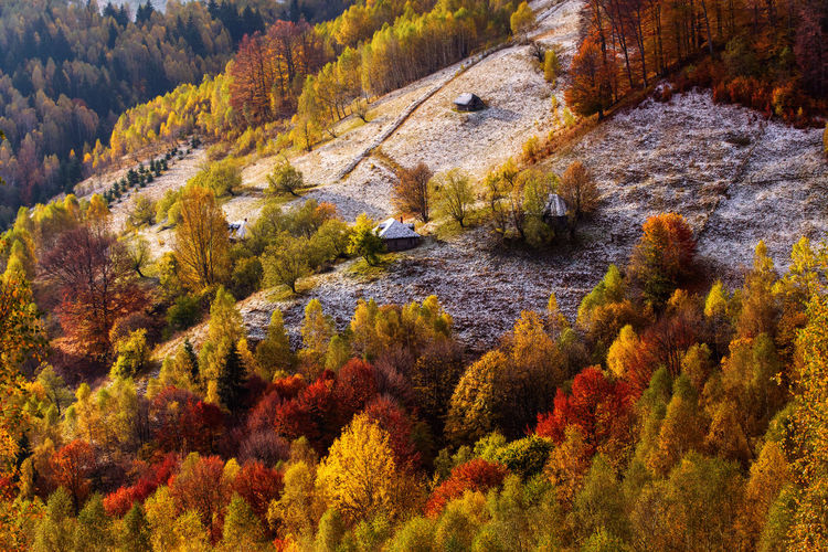 High angle view of pine trees in forest during autumn