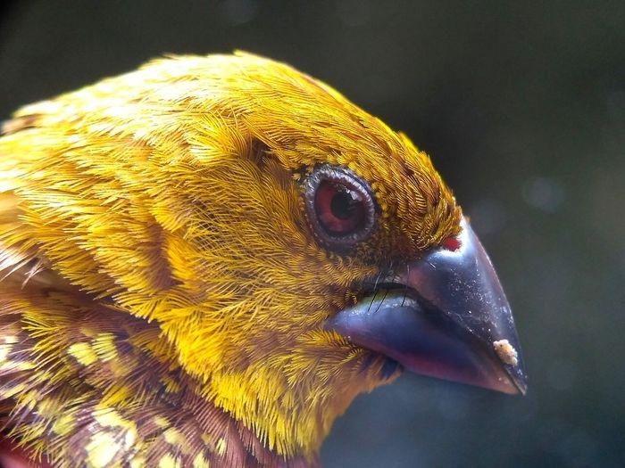 pingai bird