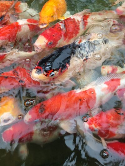 fancy carp fish in pool Group Multi Colored Colorful Color Pool Animal Fancy Carp Fish Fancy Carp Carp Fish Water Fish Carp Animal Themes Group Of Animals Day Outdoors Nature