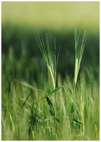 Growth Farm Rural Scene Field Nature Cereal Plant Green Color Close-up Beauty In Nature Kirriemuir Countryside Backgrounds Agriculture