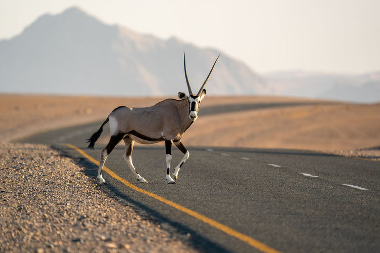View of a oryx on road