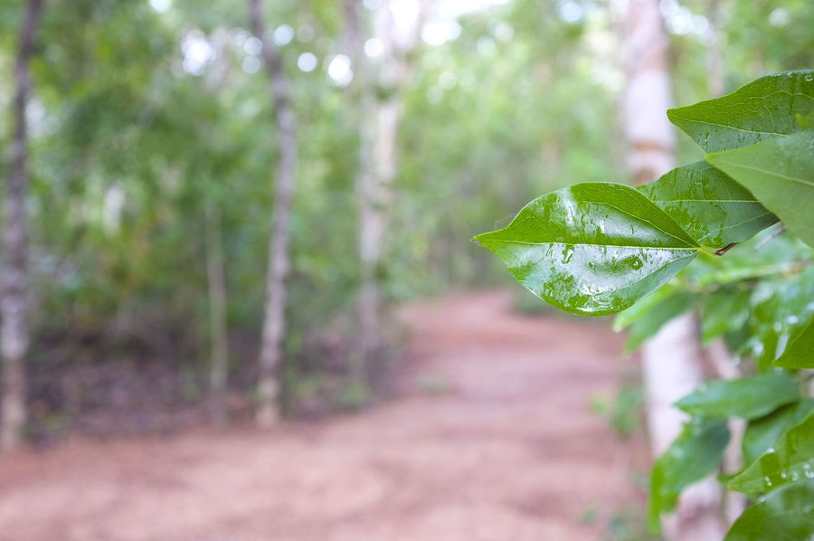 Closeup of wet leaves along a forest path, at East Point Reserve in a suburb of Darwin in the Northern Territory of Australia. Forest Path Beauty In Nature Close-up Day Forest Pathway Forest Track Freshness Green Color Growth Leaf Nature No People Outdoors Plant Tree The Great Outdoors - 2018 EyeEm Awards