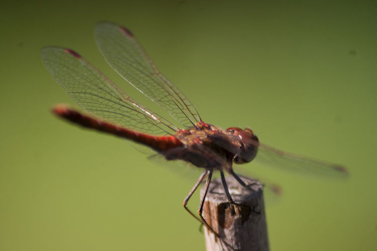 Animal Themes Animal Wing Animals In The Wild Close-up Day Dragonfly Focus On Foreground Full Length Insect Nature No People One Animal Plant Wildlife Zoology