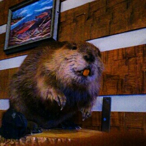 ресторан Твин Пикс казань Казань2015 бобрик бобр Taking Photos Relaxing Hanging Out EyeEm Nature Lover Beaver