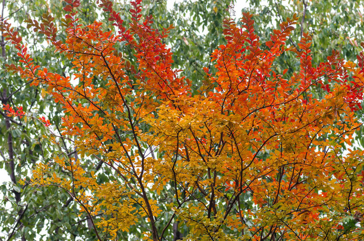 seasons and colors Tree Autumn Plant Change Orange Color Branch Beauty In Nature Growth Nature Low Angle View Day Leaf Plant Part No People Outdoors Tranquility Maple Tree Scenics - Nature Backgrounds Sky Autumn Collection Tree Canopy