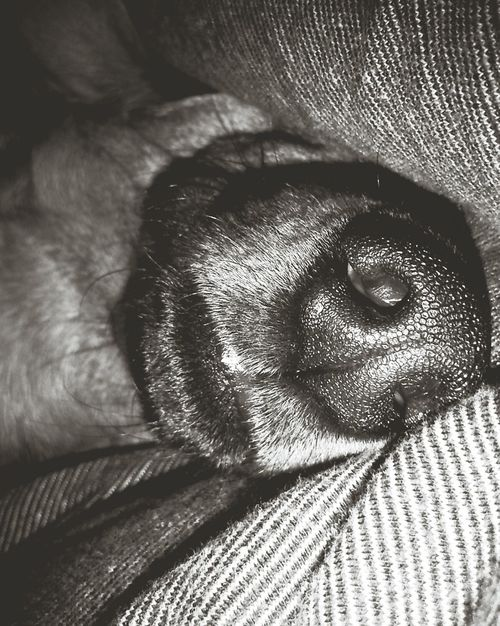 Dog Sleeping Dog Dog Nose Animal Blackandwhite Black And White Black & White Blsckandwhite Black&white Blackandwhite Photography Nose The Week Of Eyeem EyeEm Best Shots Better Look Twice Macro Beauty The Portraitist - 2016 EyeEm Awards