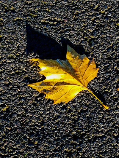 I've got the gold leaf. Yellow Outdoors Day No People Textured  Road Close-up Nature Leaf Backgrounds Perspectives On Nature Ayeshea Bah Outdoor Photography EyeEm Gallery Fresh On Eyeem  Park Life Autumn🍁🍁🍁 Shining Bright Light Autumn Colours Beauty In Nature Sunlight Shadows Low Angle View Illuminated