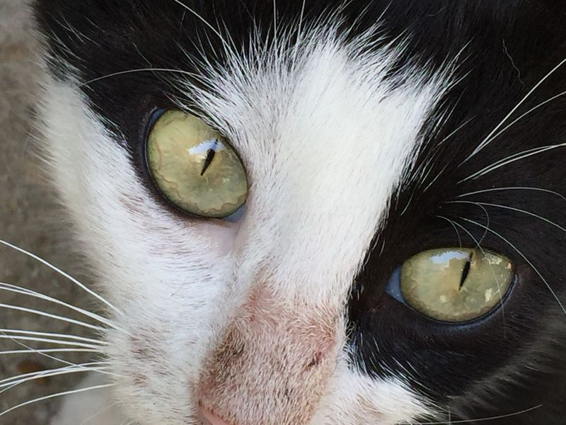 Alertness Animal Animal Eye Animal Hair Animal Head  Animal Themes Cat Close-up Day Domestic Animals Domestic Cat Feline Focus On Foreground Full Frame Looking At Camera Mammal No People One Animal Outdoors Pets Whisker Whiskers